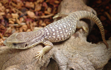 Bosc Monitor Lizard