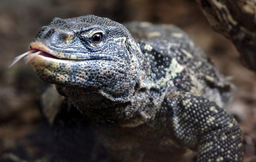 Ornate Nile Monitor Lizard