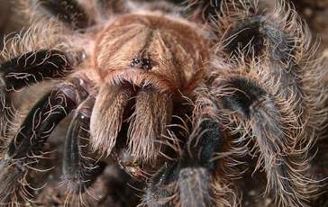 Curley Haired Tarantula