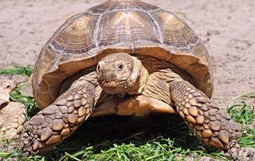 African Spur Thighed Tortoises