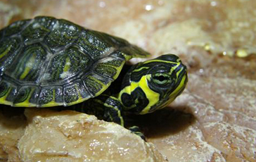 Yellow Bellied Terrapins